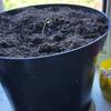 Sick ak47 seedling