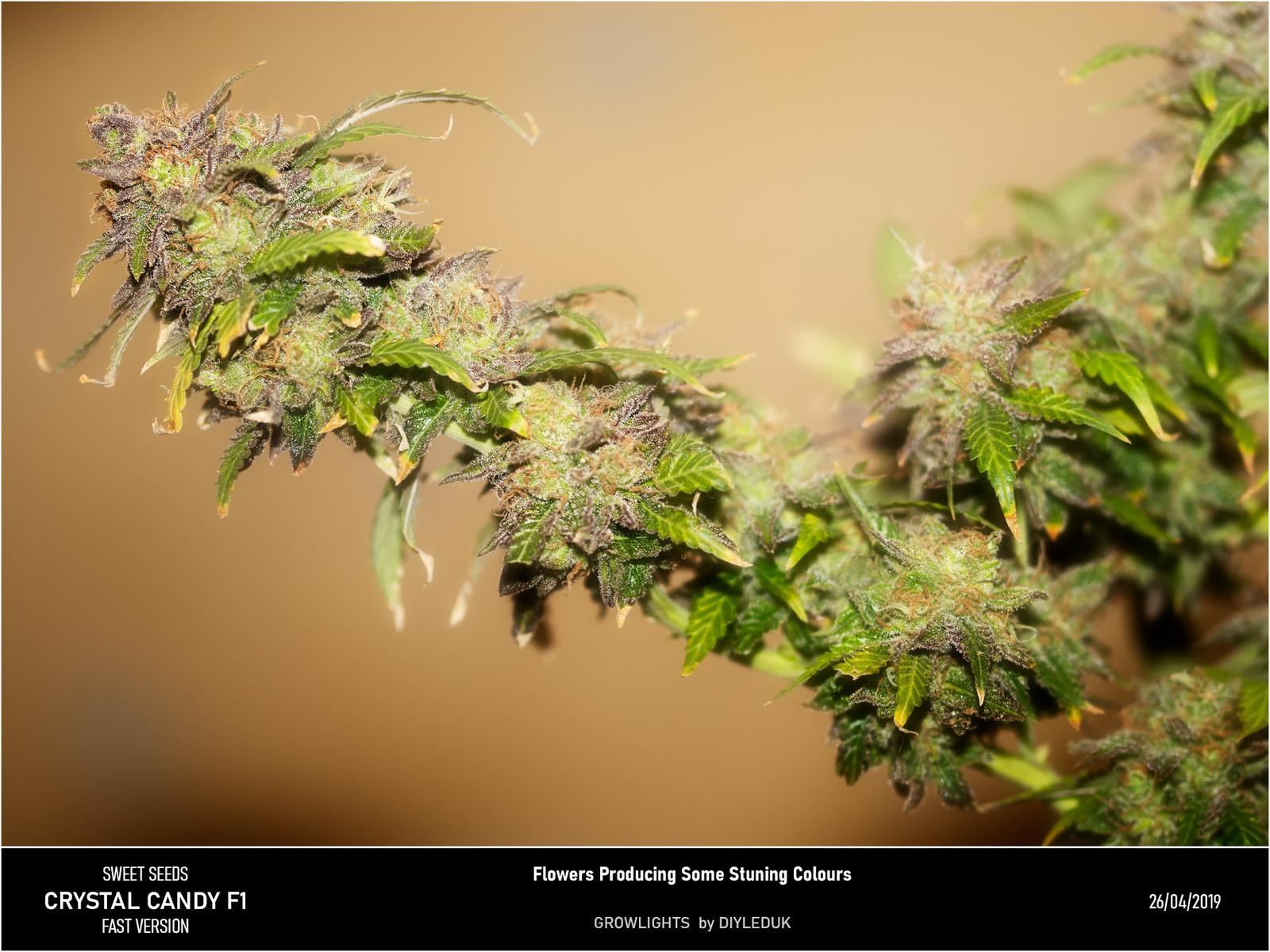 large.5cc2e6eae83a2_Crystalcandyflower.jpg