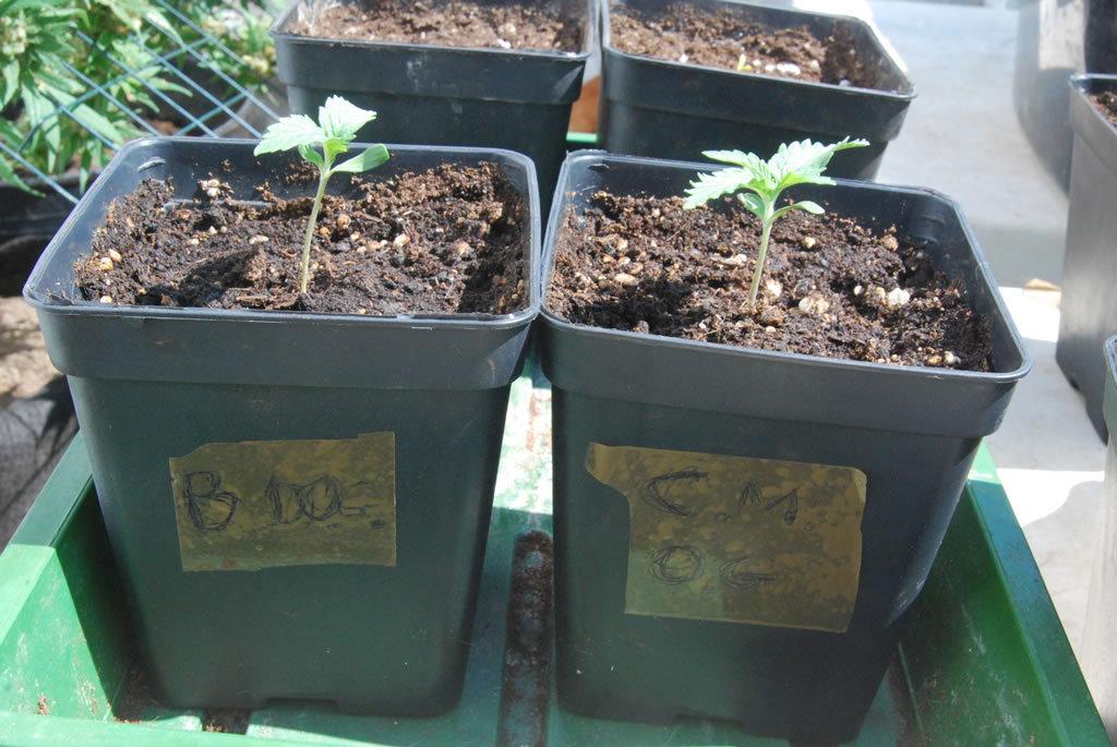 large.hso_seedlings_1.jpg.af8bb50a9d553a
