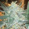 peyote crit week 6 lower nug