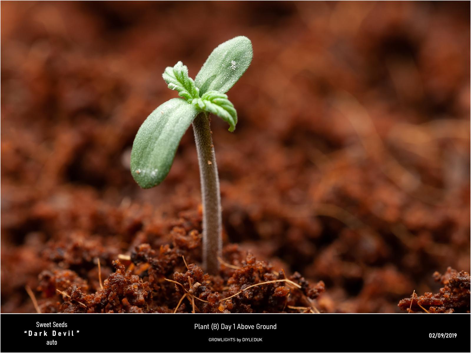 large.5d6d3a89d5ff9_SweetSeeds-PlantBDarkDevilAuto.jpg
