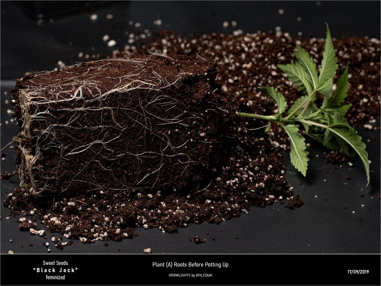 large.5d80ed38541b7_SweetSeeds-BlackJack-PlantARootsBeforePottingUp.jpg