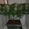Yummy Day49 flowering-pic2.