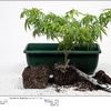 Dinafem - Quick Gorilla - Day - 45 - Above Ground - Final Pot Up - In Root Ball Chop Chop To Fit New Pot 03/01/2020