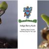 Sweet Seeds Indigo Berry Kush - Seedling Above Ground - Day 1 - UK420 Size