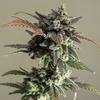 Sweets Seeds - Gelato - Bud - Autoflowering