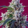 INDIGO-BERRY-KUSH(R) - Sweet Seeds - Stock Image