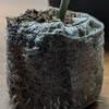 Clone using seaweed extract