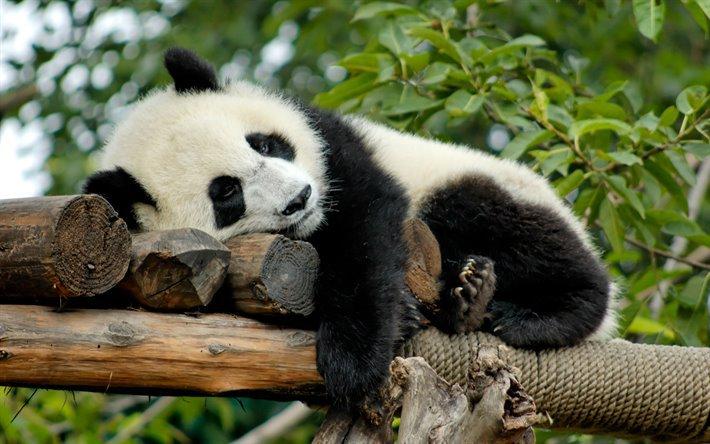 large.thumb2-sleeping-panda-zoo-bears-cute-bear-china.jpg