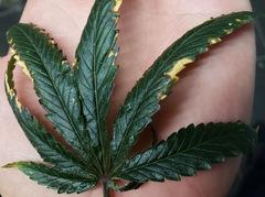 Strange Dark green leafs