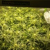 WBIP-HSO-Greencrack-9-3g-20flowerday25.jpg