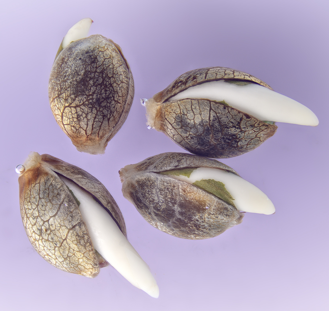 large.5f7a07506ef92_SweetSeeds-SweetZkittlez-Seeds-Germination.jpg