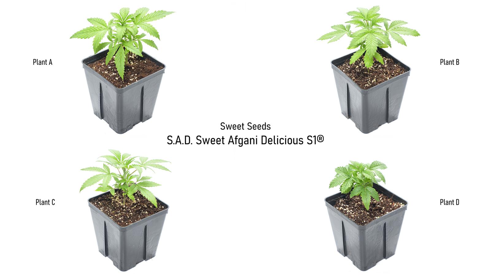 large.5fb94fa8e0195_SweetSeeds-SweetAfganiDeliciousS1-FourPlants21-11-2020.jpg