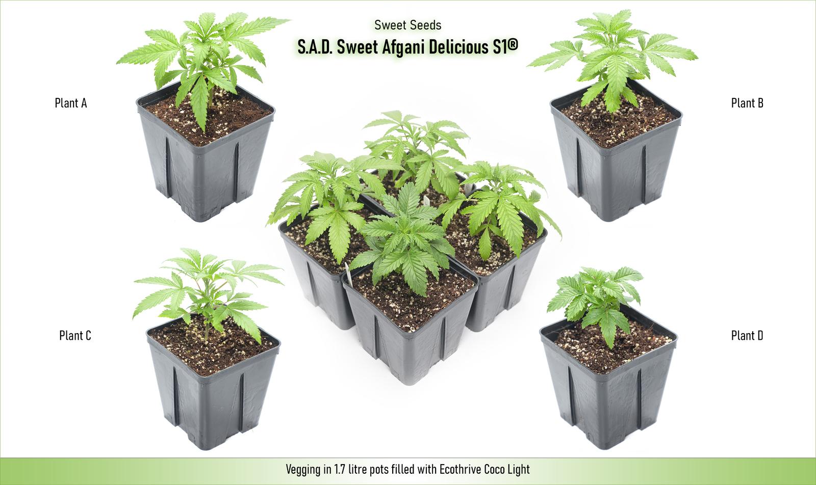 large.5fbaa06835cda_SweetSeeds-SweetAfganiDeliciousS1-PlantGroup21-11-2020.jpg