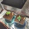Choc Mint OG (left), Lemon Walker (right) day 15