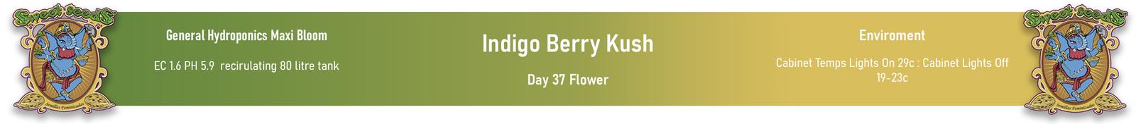 large.60293de58b919_SweetSeeds-IndigoBerryKush-Day37Flower-InfoPanel-14-02-2021.jpg