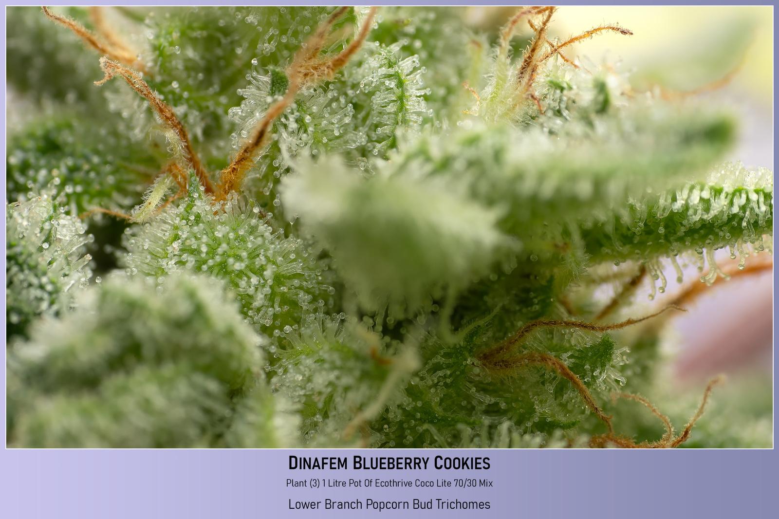 large.6034efbaa7e97_Dinafem-BlueBerryCookies-Plant3-1LitrePotOfCocoPerlite-LowerSideBudTrichomes-23-02-2021.jpg
