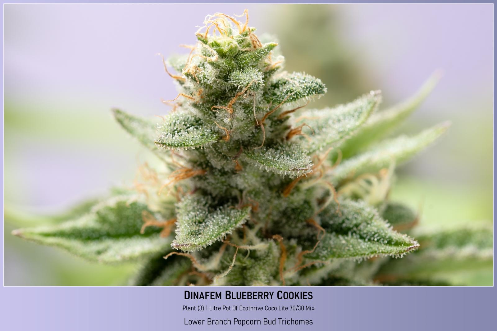 large.6034f901e8b0e_Dinafem-BlueBerryCookies-Plant3-1LitrePotOfCocoPerlite-RandomBudImage-23-02-2021.jpg