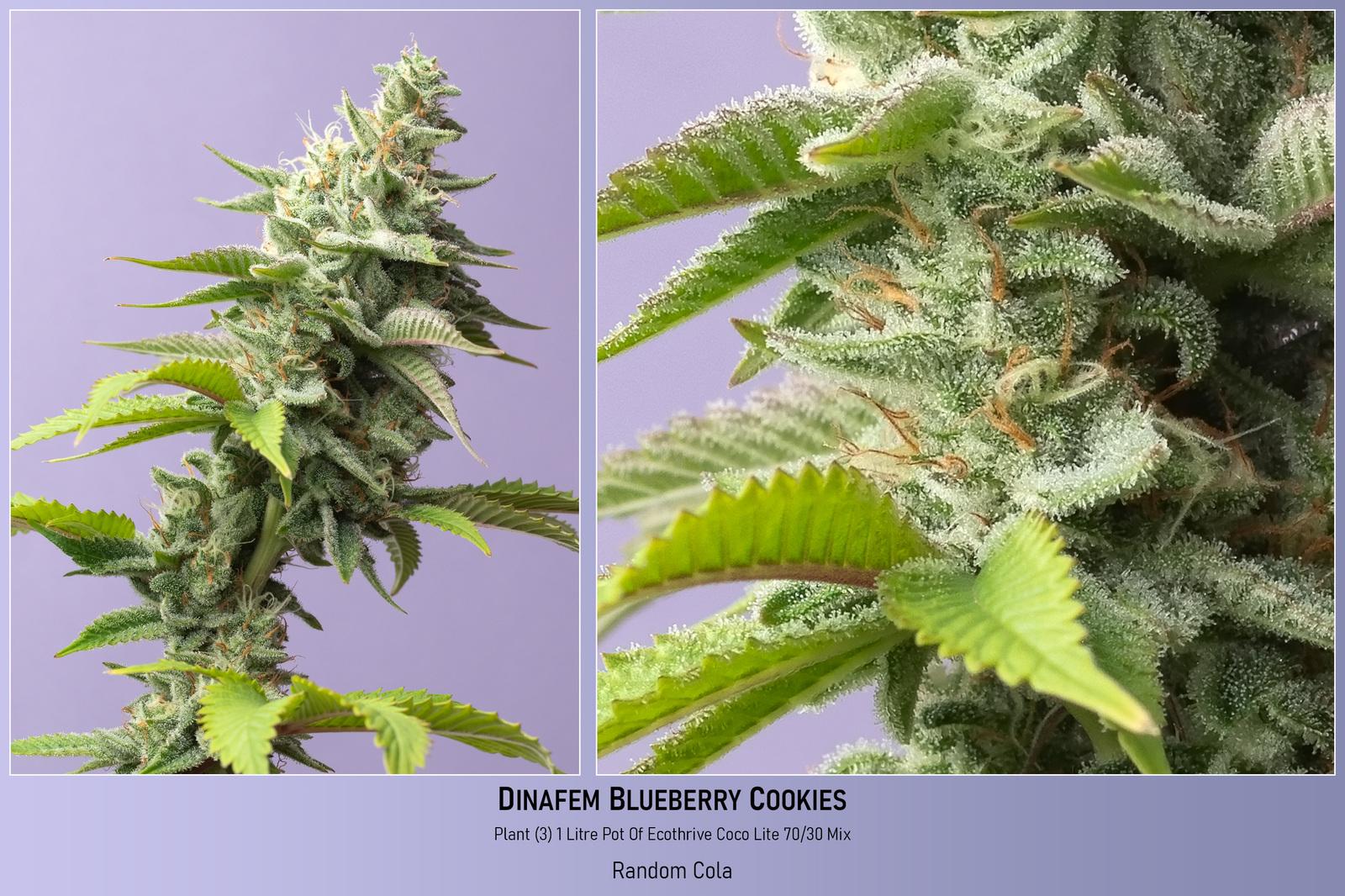 large.60350255e8a82_Dinafem-BlueBerryCookies-Plant3-1LitrePotOfCocoPerlite-RandomCola-23-02-2021.jpg
