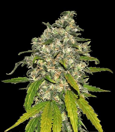 large.kisspng-autoflowering-cannabis-kush-cannabis-cultivation-m-cannabis-shop-5b1e5dafb9d455.5248758415287167197612.png