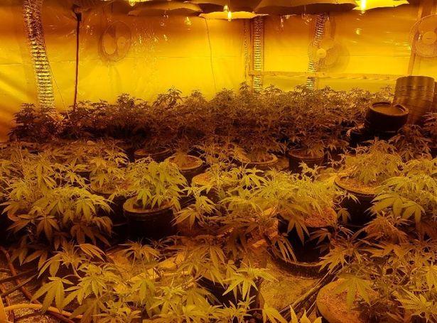 0_ST_BRI_050419_cannabisplantsJPG.jpg