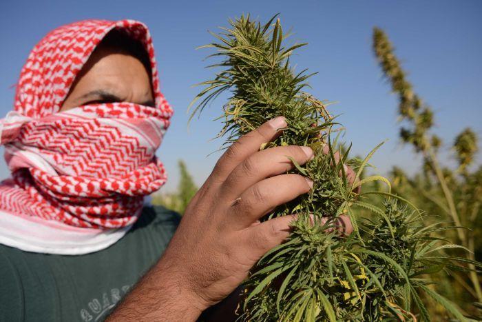 Cannabis fields in the Bekka Valley