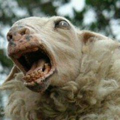 crazy-sheep