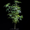 SeedStockers Runtz - plant 03 Potting up to 11 litre pot of biobizz allmix. 30/07/2021