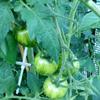 Tigerella Tomato July 2021